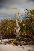 A great blue heron (ardea herodias) on the beach of Espanola Island, Galapagos Archipelago - Ecuador.