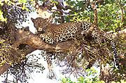 Leopard in afig tree, Maasai Mara, Kenya.