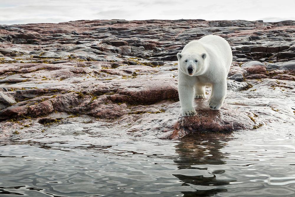 Canada, Nunavut Territory, Repulse Bay, Profile of Polar Bear (Ursus maritimus) standing along shoreline on Harbour Islands along Hudson Bay
