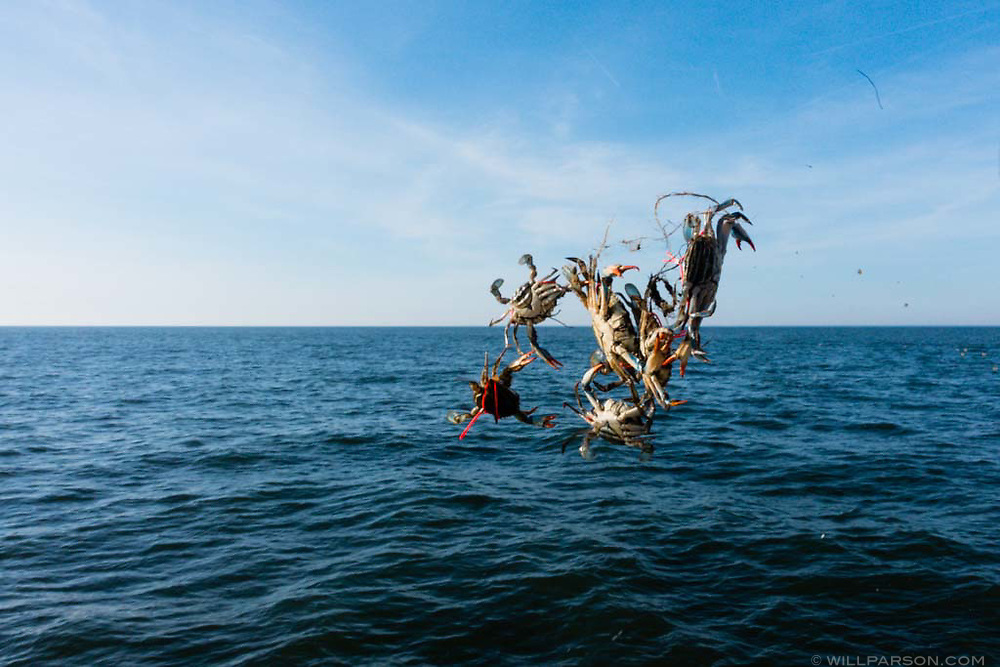 Tagged blue crabs are returned to the lower portion of the Chesapeake Bay on March 8, 2016. The crabs were sampled by researchers from the Virginia Institute of Marine Science as part of the 2015-2016 blue crab winter dredge survey. (Photo by Will Parson/Chesapeake Bay Program)
