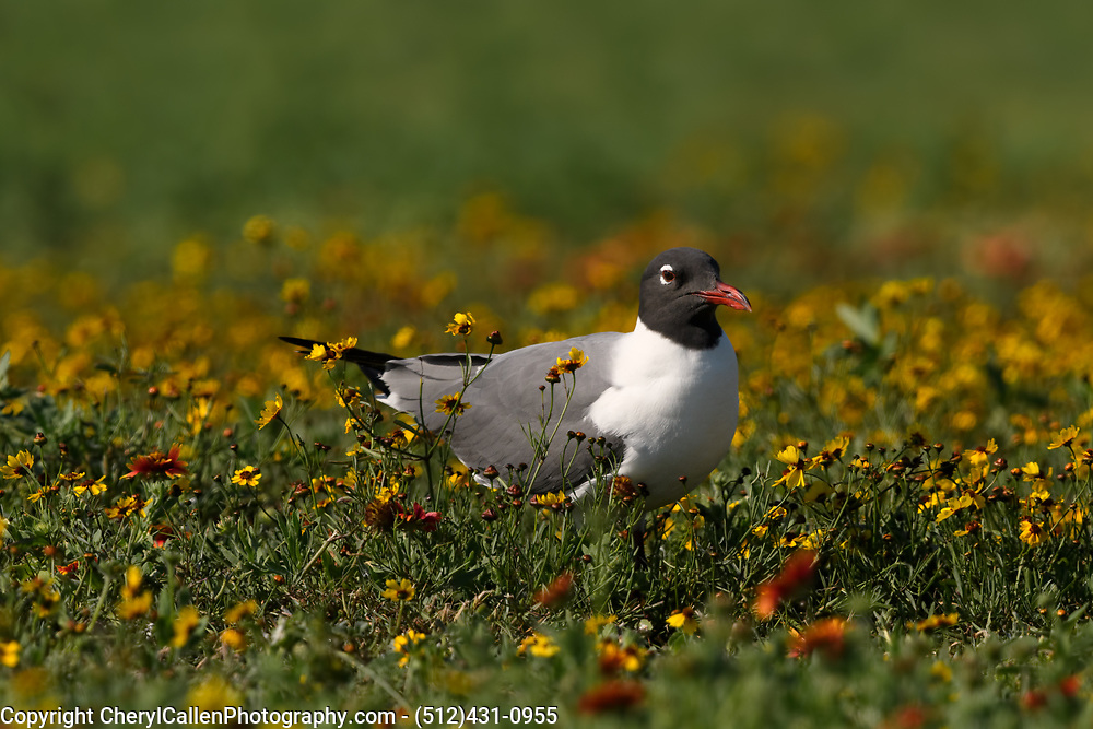 Laughing Gull nesting in the wildflowers of Rockport