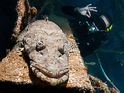 Beaufort's crocodile fish (Cymbacephalus beauforti). The flat body shape and colouration help it blend into the sea floor. A scuba diver in the background. Photographed in the Red Sea, Eilat, Israel