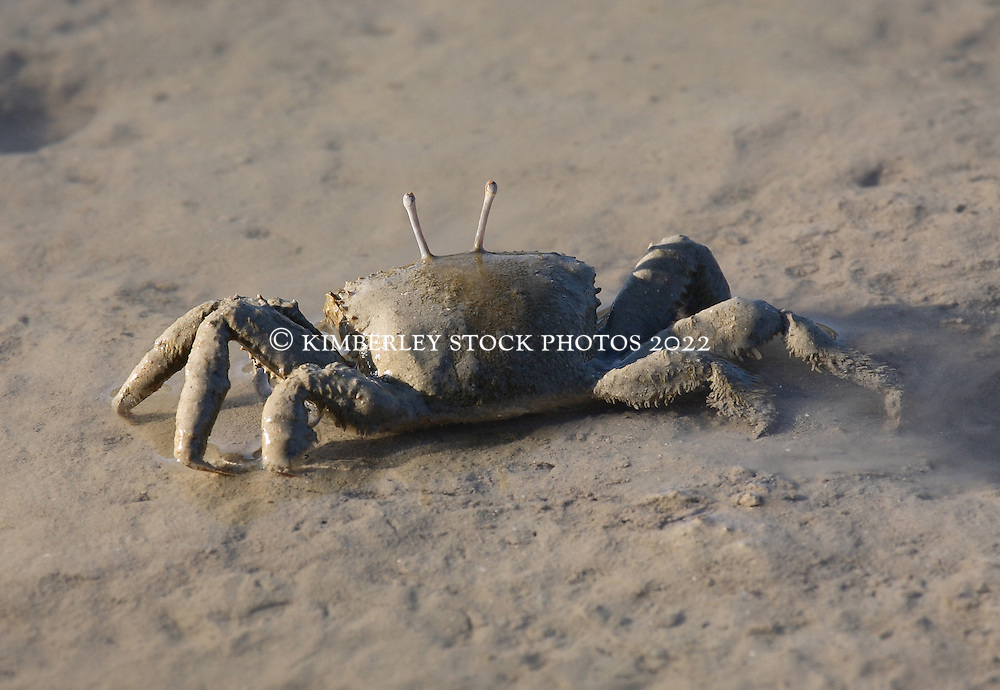 A mud covered crab watches for prey on a mud flat on Traverse Island on the Kimberley coast.