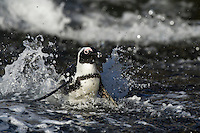 African Penguin swimming in the waves, Bird Island, Algoa Bay, Eastern Cape, South Africa