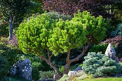 Pinus mugo 'Ophir'. Dwarf mountain pine 'Ophir'