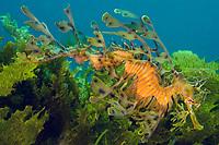 Male Leafy Sea Dragon Carrying Eggs..Shot in Australia