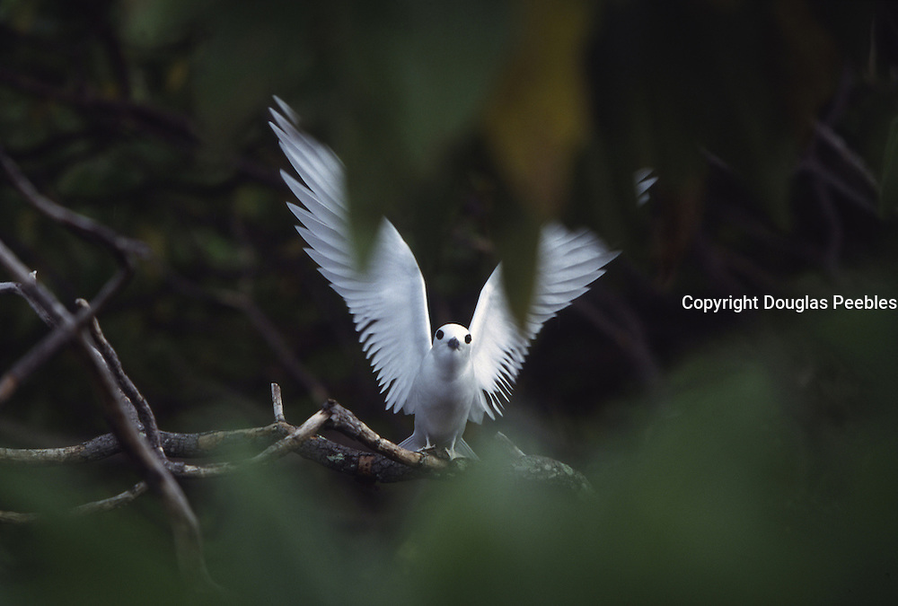 Fairy tern, Henderson Island, Pitcairn Group<br />