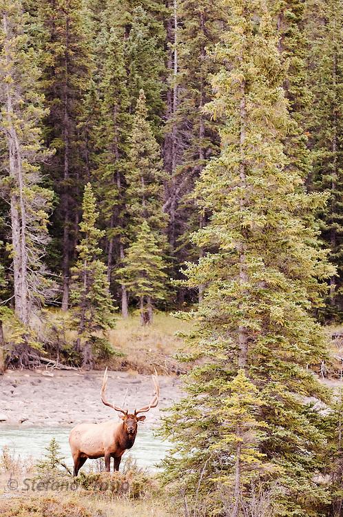 CANADA, Jasper National Park.Elk (Cervus elaphus) in forest