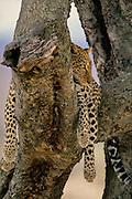 Leopard in tree resting, but alert. Blurred background.