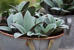 Allium karataviense AGM (Kara Tau garlic) in a metal galvanised container