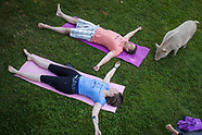 Yoga Session With Pigs During A Charity - 25 June 2018