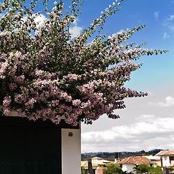Lavender Bougainvillea in Villa de Leyva, Boyacá, Colombia.