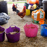 Chickens hens cockerals cokeral hen eating grain amongst horse feed bins and full feed bowls trugs tables farm yard Isle of Wight UK England Photographs taken with the Fujifilm Fuji X100T Fujifilm Fuji X100T test images by © Patrick Eden Photography