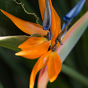 This single Bird of Paradise Flower shows off its petals and is surrounded by lush green leaves.