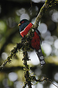 Ecuador, May 22 2010: Male Masked Trogon on branch. Images from Cabanas San Isidro...Copyright 2010 Peter Horrell