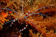 UNDERWATER MARINE LIFE WEST PACIFIC, banded coral shrimp on soft coral Stenopus hispidus
