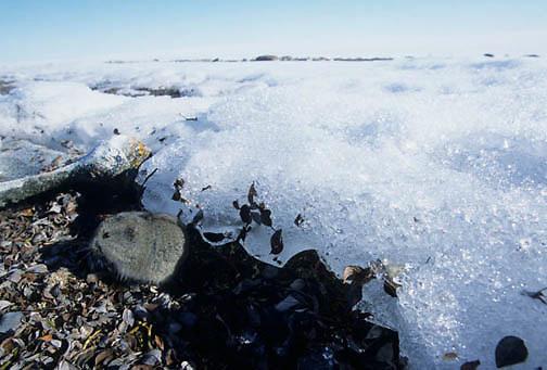 Collared Lemming (Dicrostonyx groenlandicus) Nunavut Territory. Canada.