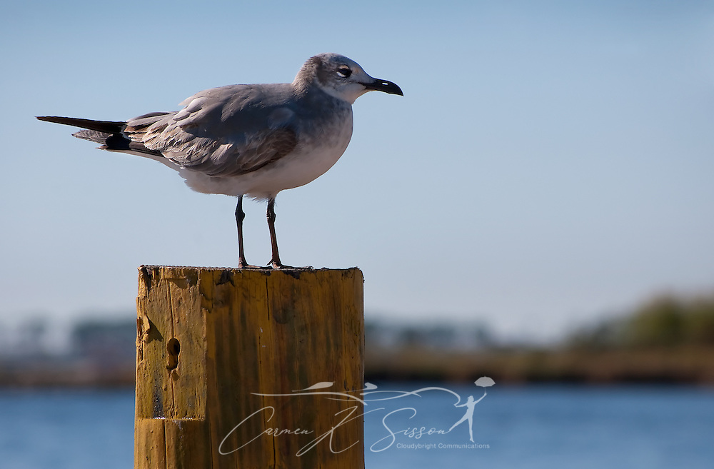 A seagull perches on a piling at the old state docks in Bayou La Batre, Ala. Nov. 17, 2010. The Gulf Coast continues to recover from this summer's Deepwater Horizon BP oil spill, which affected nearly 29,000 square miles of shoreline from Louisiana to Florida. (Photo by Carmen K. Sisson/Cloudybright)