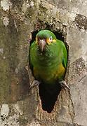 Yellow-plumed Parakeet; Leptosittaca branickii; at nest cavity in wax palm stump; Ecuador, Prov. Zamora-Chinchipe, Tapichalaca Biological Reserve