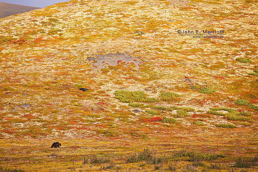 Grizzly bear on the tundra, Yukon, Canada