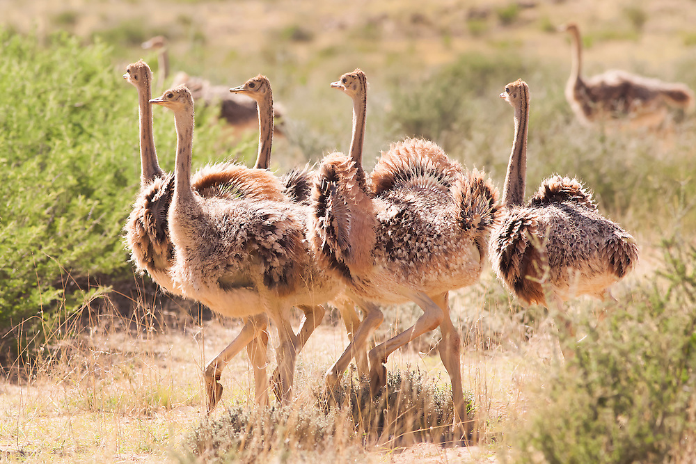 The Ostrich (Struthio camelus), is a large flightless bird native to Africa. It is the only living species of its family, Struthionidae and its genus, Struthio. Ostriches share the order Struthioniformes with the kiwis, Emus, and other ratites.