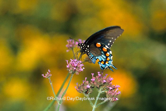 03004-004.20  Pipevine Swallowtail butterfly (Battus philenor) male on Brazilian Verbena (Verbena bonariensis) Marion Co., IL