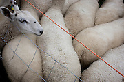 Sheep up for auction at the ancient annual Priddy Sheep Fair in Somerset, England.