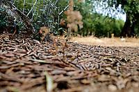 Un uliveto alle porte di Ostuni, particolare della base del tronco di un ulivo