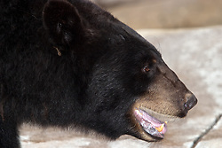 03 July 2006  A quick vacation through Iowa to Omaha.  Black bear. (Photo by Alan Look)