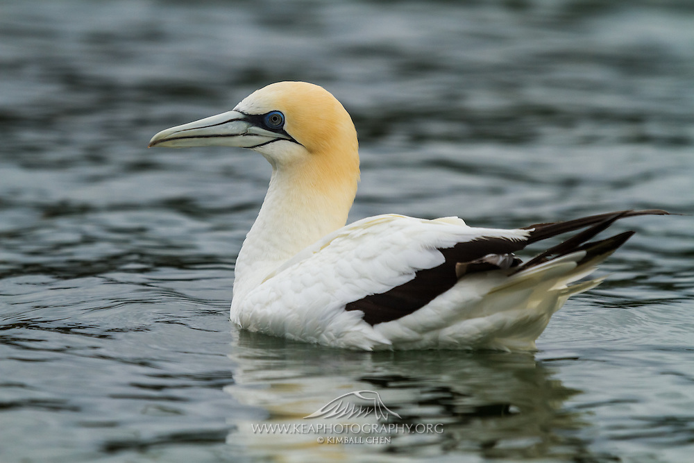 The longest living of any living sea birds, the Australasian Gannet can live up to 35 years by migrating during the winter, bonding with a mate and keeping a healthy diet of anchovy, jack mackerel and pilchards.<br /> <br /> Australasian Gannet at Golden Bay, near Puponga Point, New Zealand