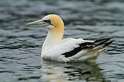The longest living of any living sea birds, the Australasian Gannet can live up to 35 years by migrating during the winter, bonding with a mate and keeping a healthy diet of anchovy, jack mackerel and pilchards.<br />