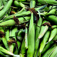 Ears of Green Sweet Corn in Husks with Tassels at Farmers Market in Columbus, Ohio