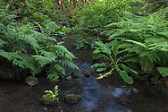 Lady Ferns (Athyrium filix-femina), Salmonberries (Rubus spectabilis) and Western Skunk Cabbage (Lysichiton americanus) growing in the forest along Duck Creek.  Photographed at Duck Creek Park on Salt Spring Island, British Columbia, Canada.