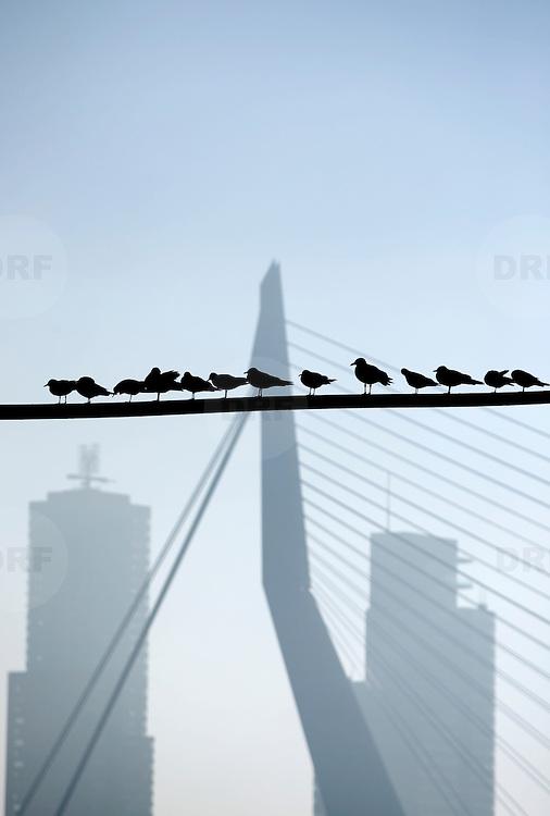 Nederland Rotterdam 19 december 2007 .Skyline van Rotterdam met op de voorgrond meeuwen, achtergrond kpn gebouw, erasmusbrug .Foto David Rozing