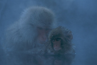 An adult and juvenile Japanese macaque (Macaca fuscata) sitting in a hot spring.