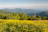 Yellow ground flowers cover the grassy meadows atop the Engine Gap area of the Roan Highlands as seen from the Appalachian Trail.  Soft evening light falls upon the blooms as one views south into the Western North Carolina Blue Ridge Southern Appalachian Mountains.