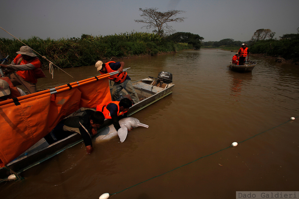 Biologists, rescue workers and fishermen rescue a pink dolphin at the Pailas river near Las Londras farming complex, Santa Cruz, Bolivia, Tuesday, Aug. 24, 2010.
