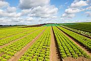 Rows of lettuce crop growing in field, near Butley, Suffolk, England, UK