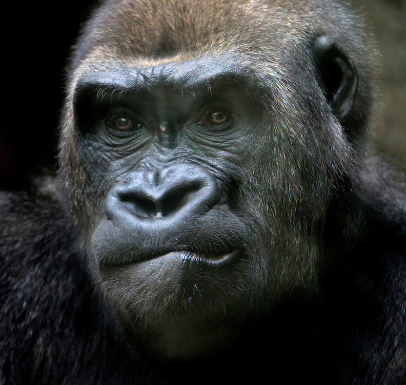 A mountain gorilla with a rather perplexed look on its face.