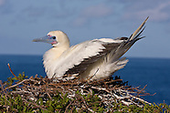 Red-footed Booby photos