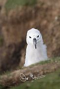 The head of a Black-browed albatross chick juts out of the grass.