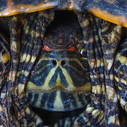 A red-eared slider checks out its surroundings while hiding in its shell.