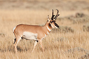 Pronghorn antelope buck in Wyoming