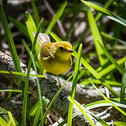 Female Hooded Warbler - GCBO Quintana Neotropical Bird Sanctuary