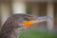 Double-crested cormorant with beautiful turquoise eyes during breeding season, Florida Everglades.