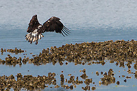 An immature Bald Eagle (Haliaeetus leucocephalus) (Halietus leucocephalus) approaches an oyster bed to land along Hood Canal in Puget Sound, Washington state, USA