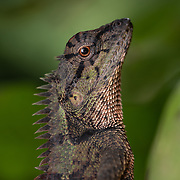 Calotes emma, commonly known as Emma Gray's forest lizard, is a species of lizard in the family Agamidae.