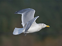 Glaucous-winged Gull (Larus glaucescens) in flight , Brickyards Beach, Gabriola Island, British Columbia, Canada