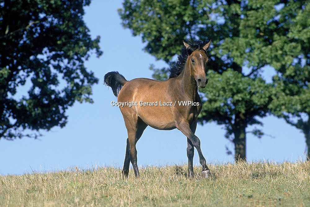 ARABIAN HORSE, ADULT STANDING IN PASTURE