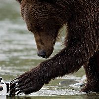 USA, Alaska, Katmai National Park, Kinak Bay, Brown Bear (Ursus arctos) sniffs at remote control underwater camera